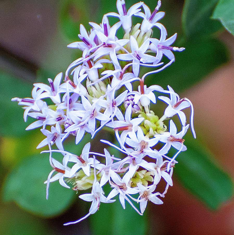 Lavender color flower bunch by Gene Bollig