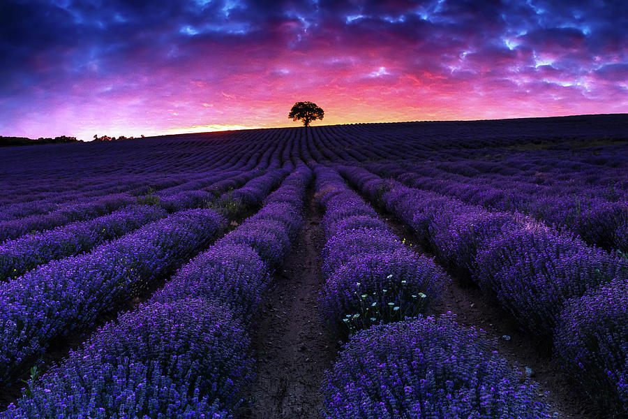 Lavender Dreams by Evgeni Dinev
