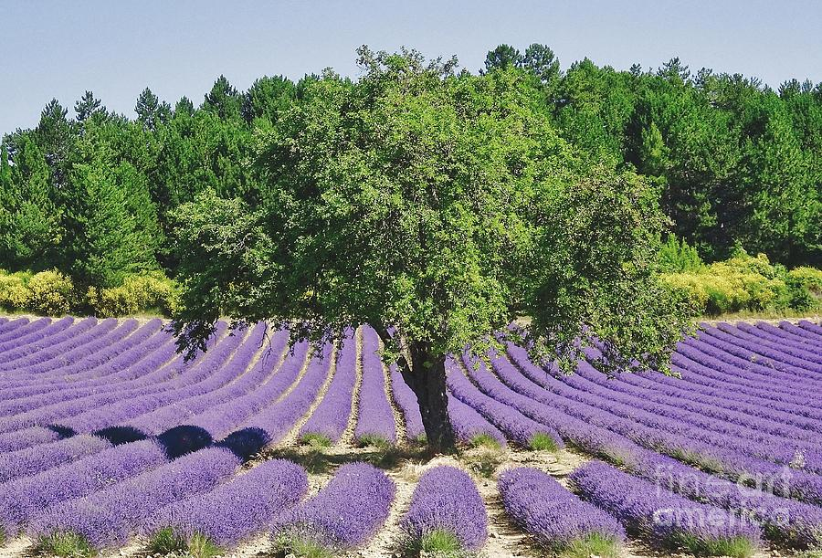 Lavender Photograph - Lavender Field And Tree by Robert Abramson