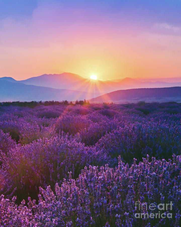 Lavender Field At Sunset Photograph by Serts