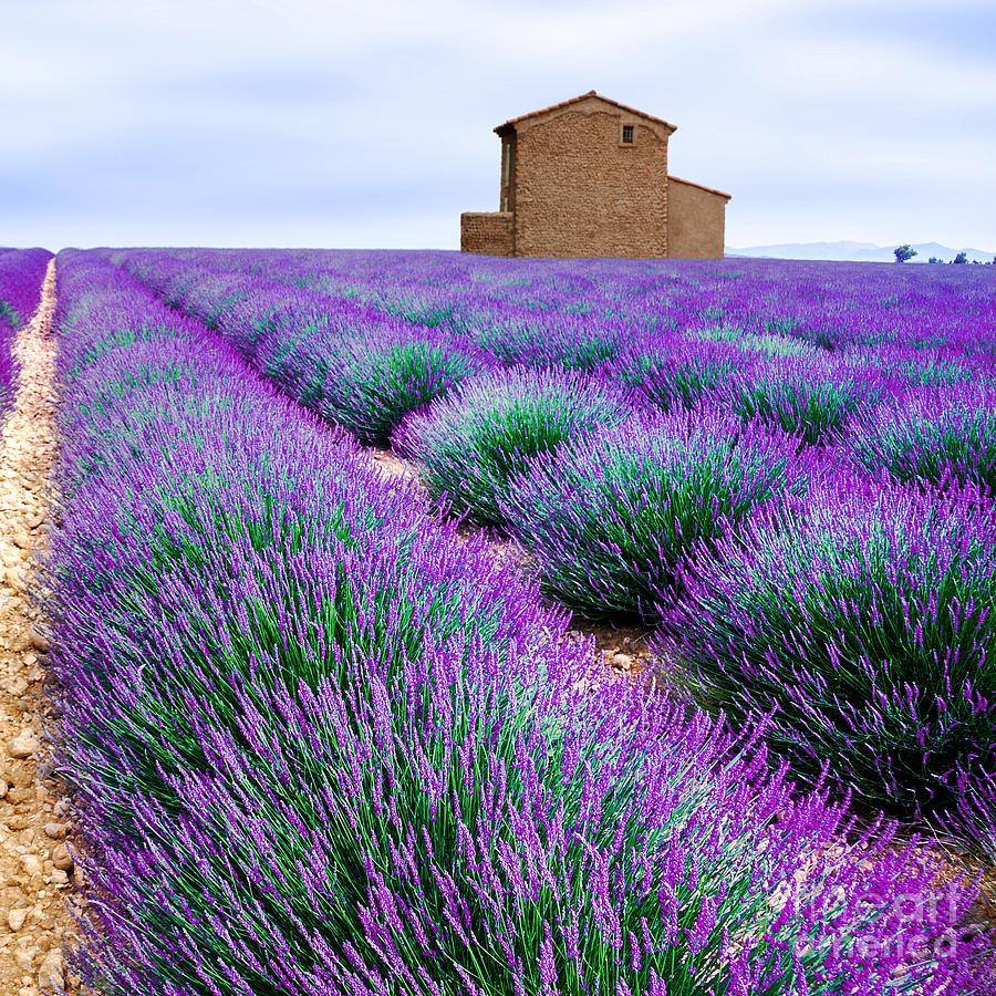 Fragrant Photograph - Lavender Field by Edler Von Rabenstein