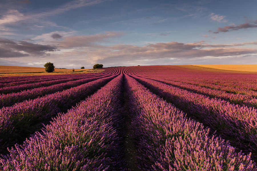 Lavender Field Photograph by Paul Baggaley