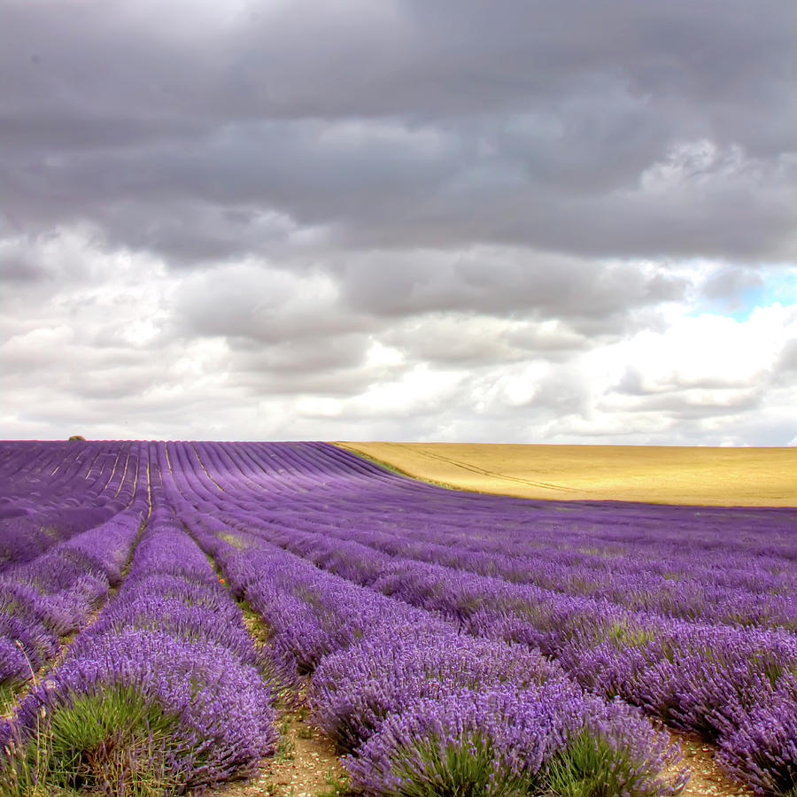 Lavender Field Photograph by Photo By Roger Cave