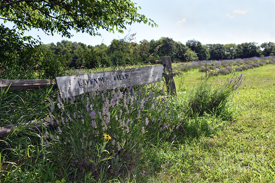 Lavender Field Sign Photograph