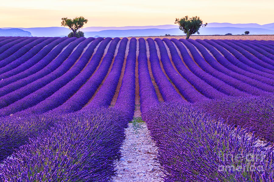 Fragrant Photograph - Lavender Field Summer Sunset Landscape by Fesus Robert