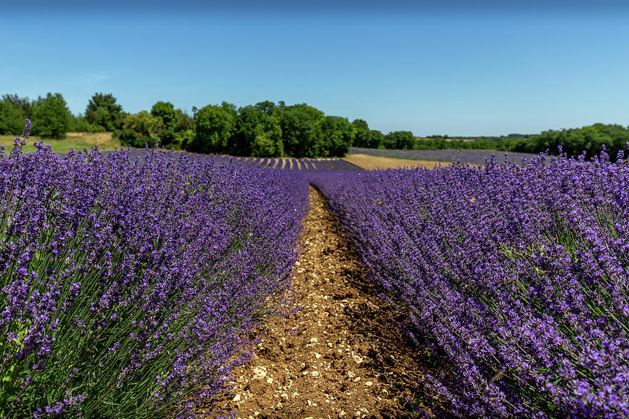 Lavender Fields of South West France by Georgia Fowler