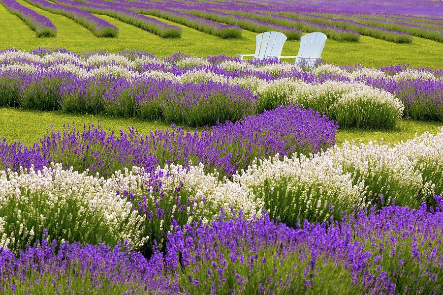 Lavender Fields by Patti Raine