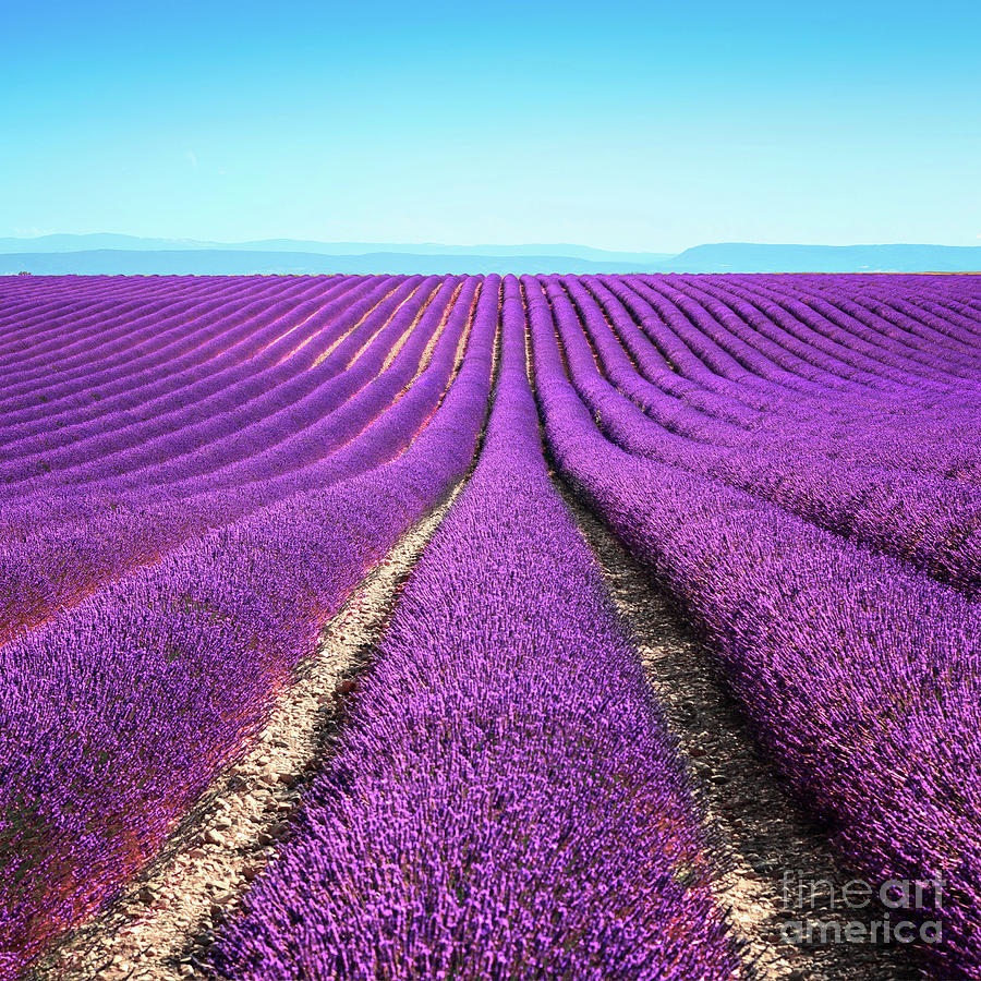 Lavender Flower Blooming Fields Endless Photograph by Stevanzz
