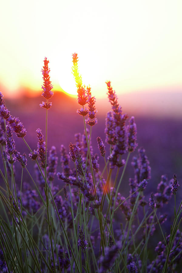 Lavender Flowers And Sunset By Rzdeb