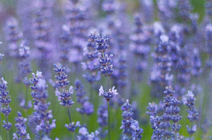 Lavender Flowers Photograph by Jill Ferry