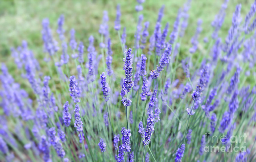 Lavender for the Soul by Kerri Farley