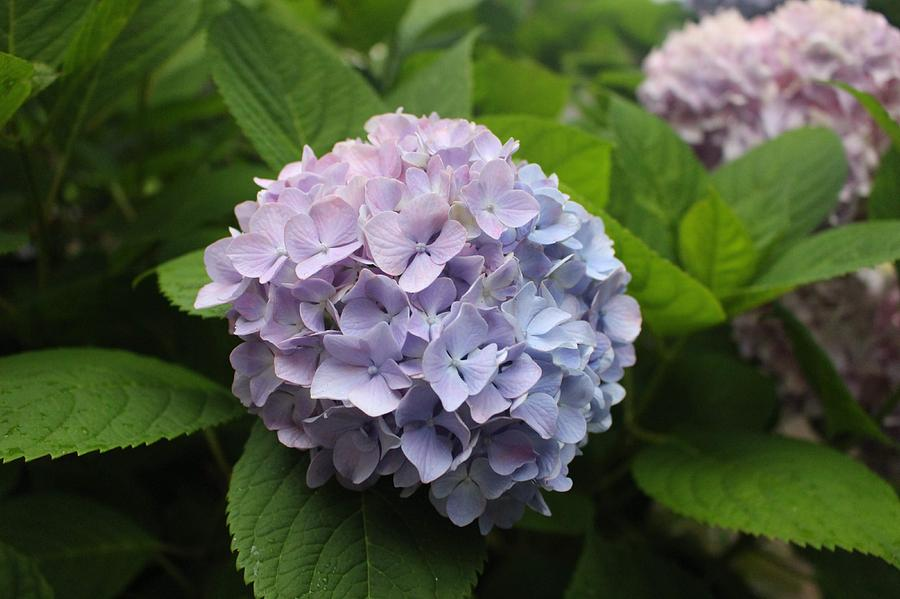 Lavender Hydrangea, Cape May by Christopher Lotito