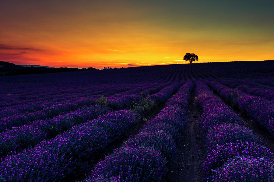 Lavender Land by Evgeni Dinev