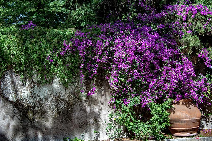 Bougainvillea Photograph - Lavender Pot by Joseph Yarbrough