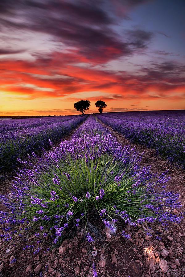 Lavender spirits by Jorge Maia