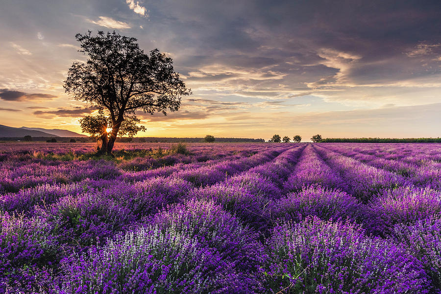 Lavender Sunrise by Evgeni Dinev
