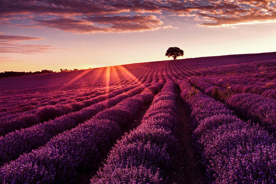Lavender Tree by Evgeni Dinev