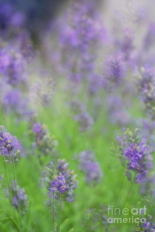 Layers of Lavender by Cathy Donohoue