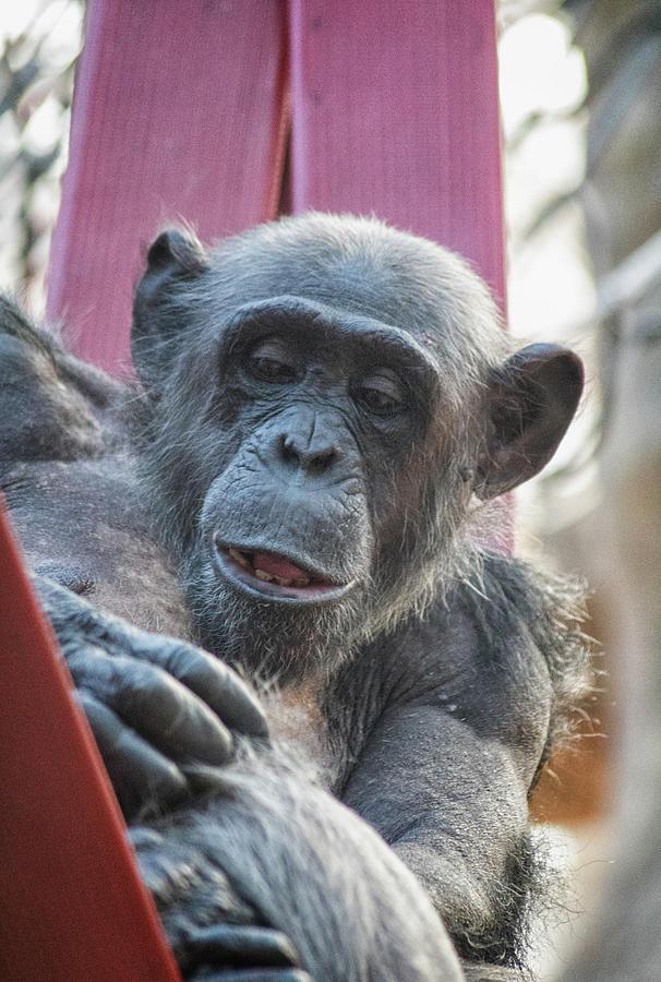 Lazy Chimp Photograph