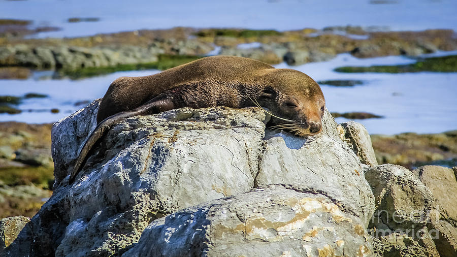 Lazy Fur Seal on a Rock, Cape Foulwind, New Zealand by Lyl Dil Creations