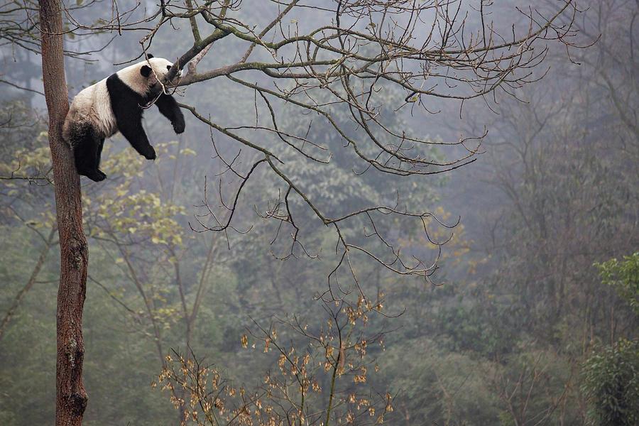 Lazy Panda Photograph By Alessandro Catta