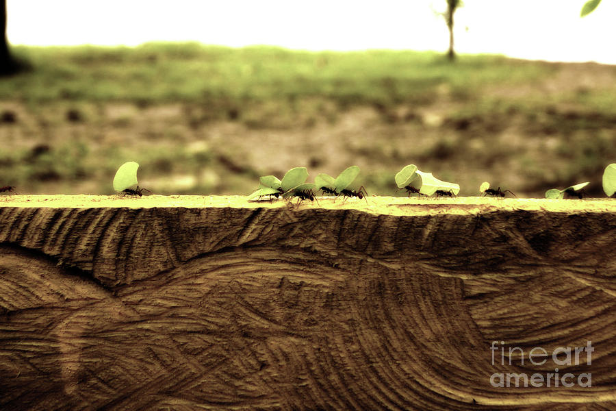 Leaf Cutter Ants On The Move Photograph