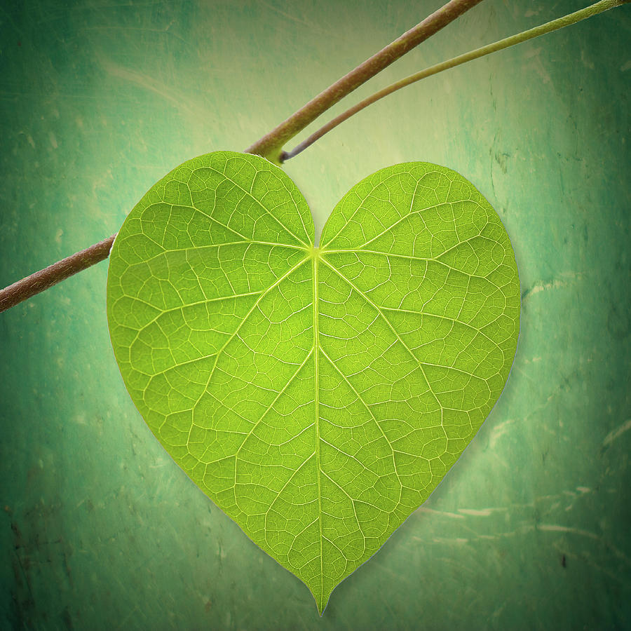 Leaf Green Heart Shaped Photograph by Philippe Sainte-laudy Photography