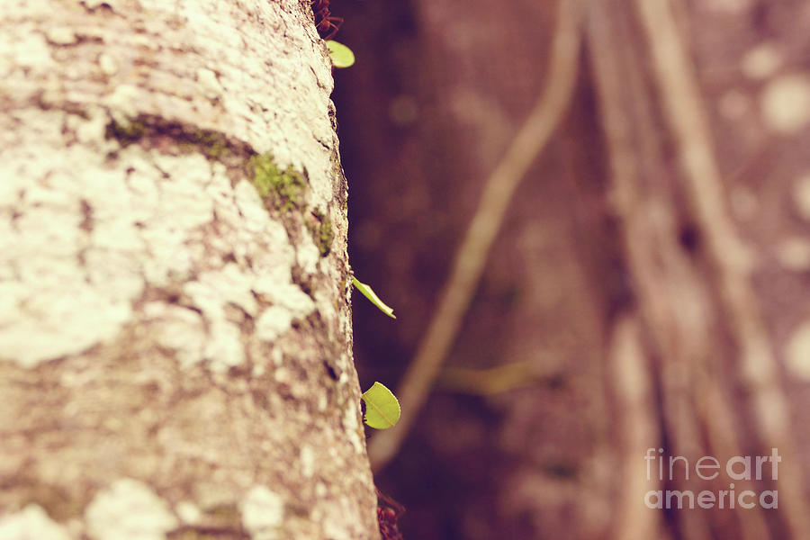 Leafcutter Ants Photograph