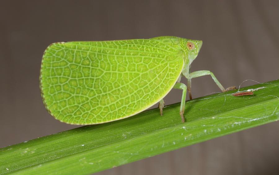 Leafhopper_8181701 by Rick Veldman
