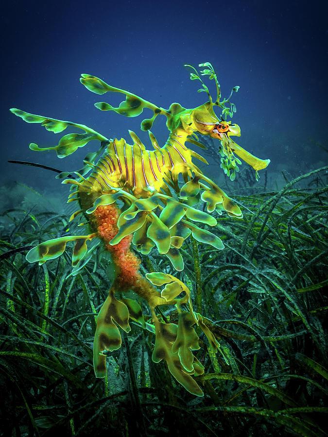 Australia Photograph - Leafy Sea Dragon - Male With Eggs by Jan Abadschieff