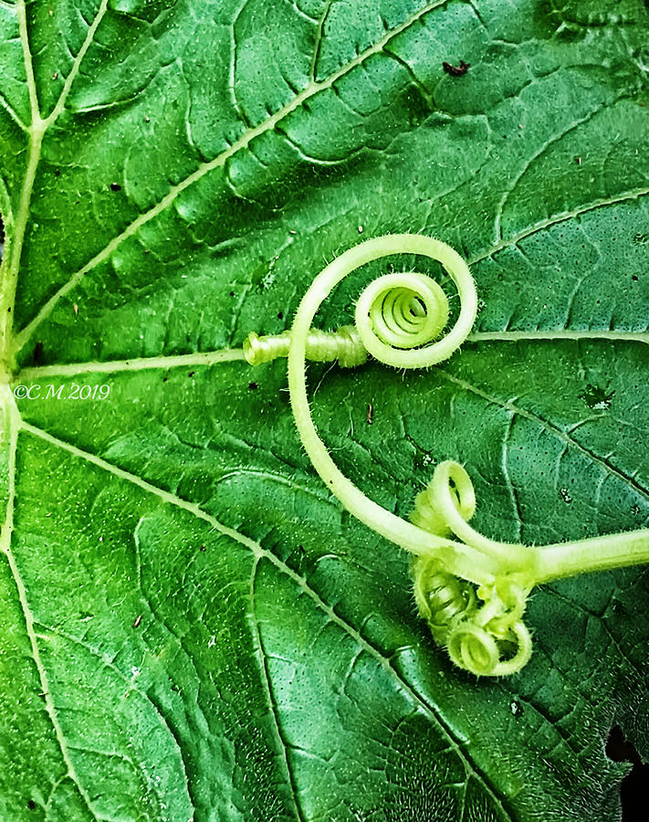 Leafy Spirals by Catherine Melvin
