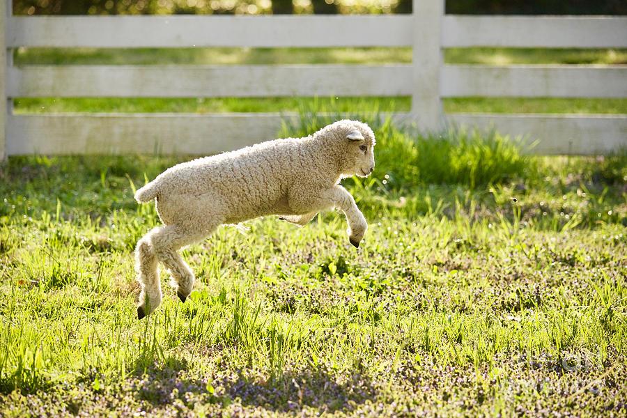 Leaping Lamb by Rachel Morrison