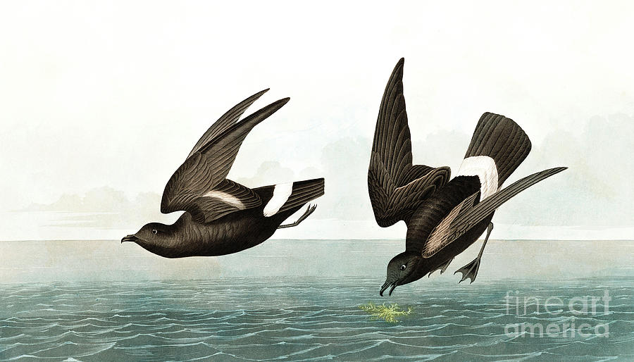Stormy Painting - Least Stormy Petrel, Thalassidroma Pelagica By Audubon by John James Audubon