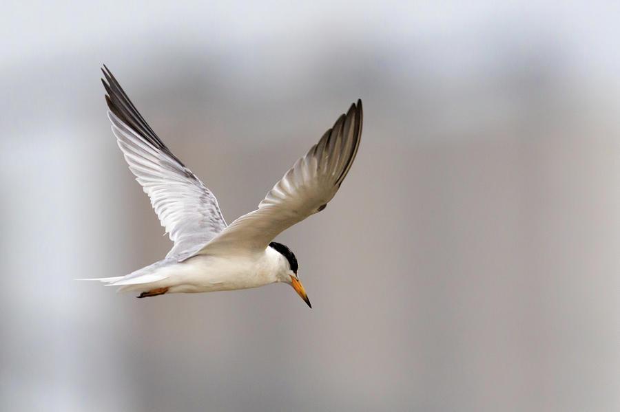 Least Tern in Flight by Susan Rissi Tregoning