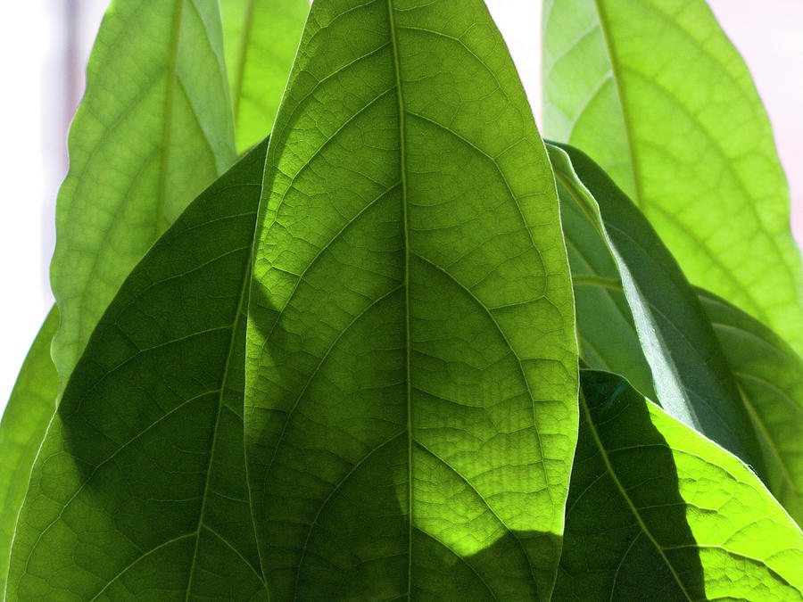 Leaves Of A  Avocado Tree Photograph by Byba Sepit
