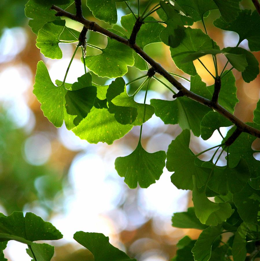 Leaves On A Ginko Tree Photograph by Christopher Biggs