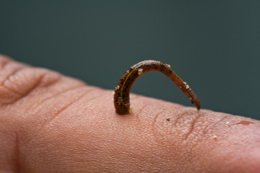 Leech Haemadipsa Zeylanica On Finger by DAVID HOSKING