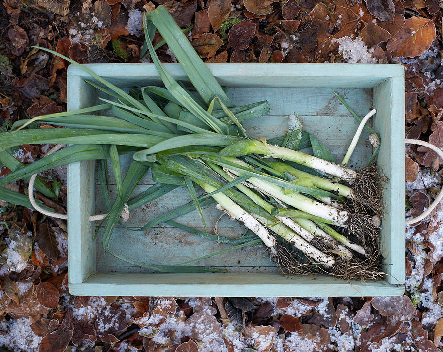 Leeks In Wooden Box On A  Frosty Winter Photograph by Dougal Waters
