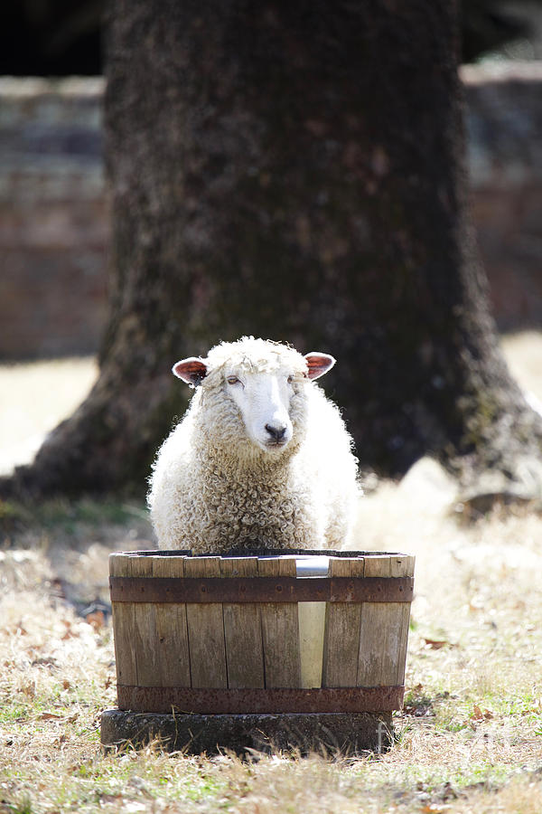 Leicester Longwool at a Water Basin by Rachel Morrison