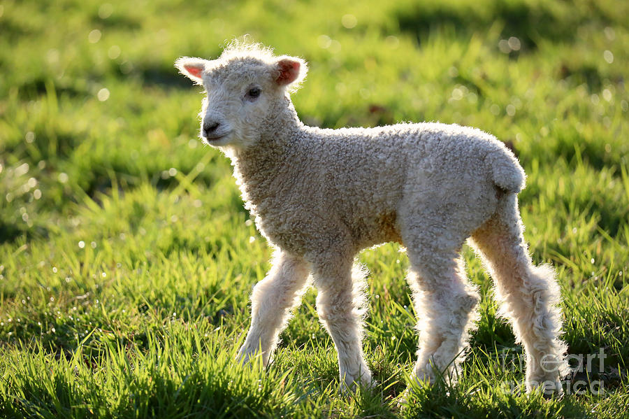 Leicester Longwool Lamb at Dawn by Rachel Morrison