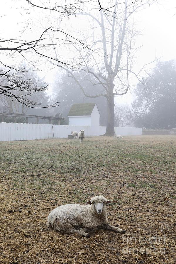 Leicester Longwool on a Misty Morning by Rachel Morrison