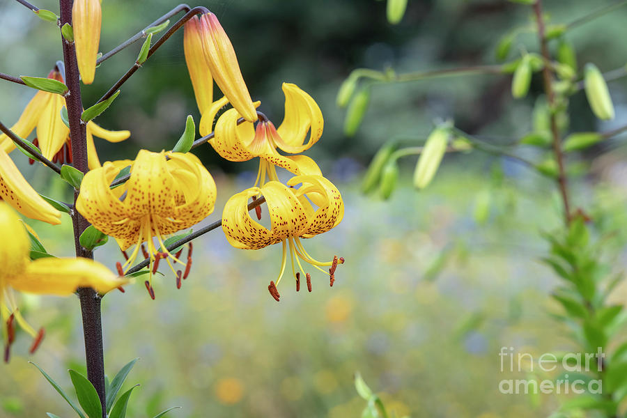 Leichtlin's Lily  by Tim Gainey