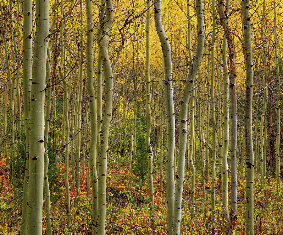 Autumn Photograph - Lemhi Aspens by Leland D Howard