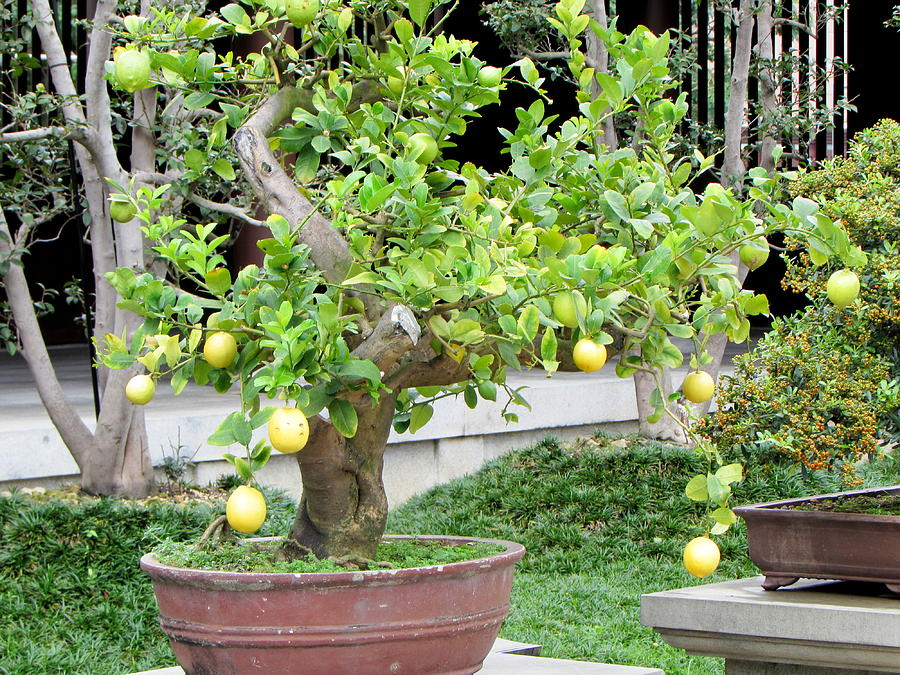Lemon Bonsai Tree 101 Photograph By Select Photos