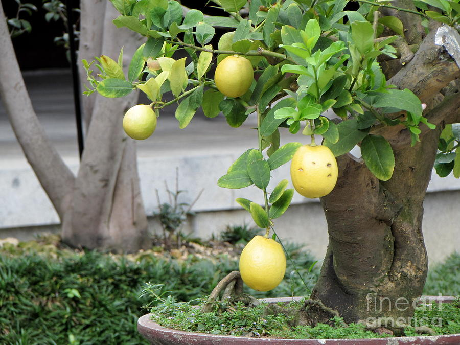 Lemon Bonsai Tree 102 Photograph By Select Photos