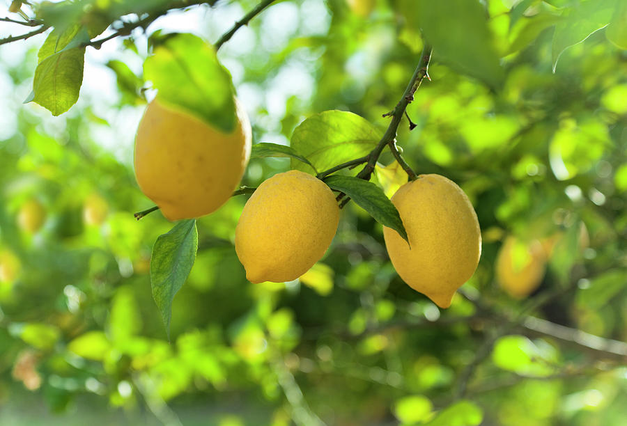 Lemon Fruits In Orchard Photograph by Brzozowska