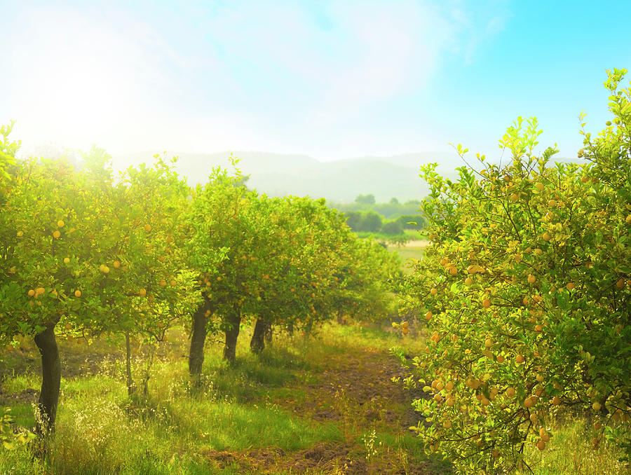 Lemon Orchard Photograph by Brzozowska