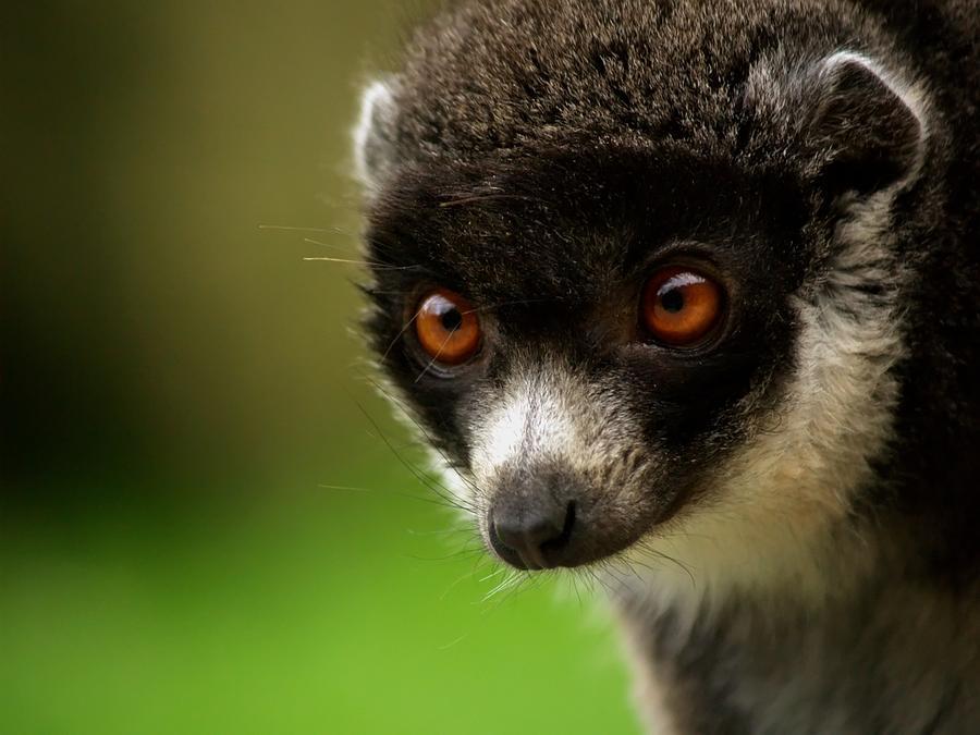Lemurien Photograph by Christine AVIGNON