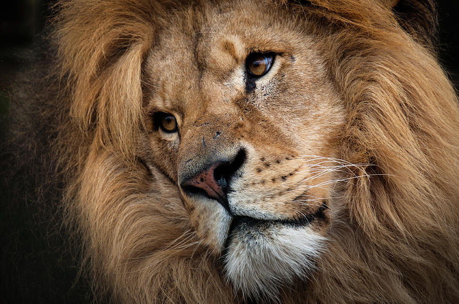 Leo - Male Lion Head, Angled Close-up Photograph by Ruth Bourne Lrps