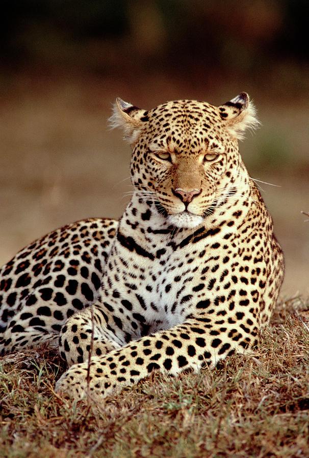 Leopard, East Africa Photograph by Elizabeth Delaney